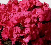 Zimmer-Azalee - Rhododendron, rosa