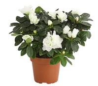 Zimmer-Azalee - Rhododendron