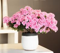 Zimmer-Azalee, weiß-rosa, gerandet, 25 - 35 cm