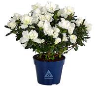 Zimmerazalee - Rhododendron 'Christine Belli'