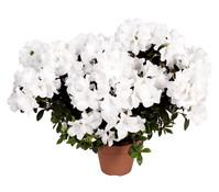 Zimmerazalee - Rhododendron 'Rosalea', weiß