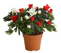 Zimmerazalee - Rhododendron 'Twin', weiß-rot,