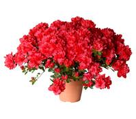 Zimmerazalee - Rhododendron 'Yakandi', rot