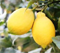 Zitrone, Busch