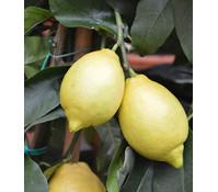 Zitrone, Solitär