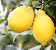 Zitrone, Stämmchen