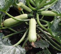 Zucchini 'Cavili'