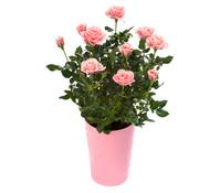 Zwerg-Rose - Topf-Rose - China-Rose, Busch, gefüllt