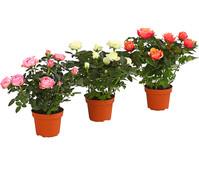 Zwerg-Rose - Topf-Rose - China-Rose, Busch, großblütig, gefüllt