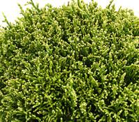 Zwerg-Scheinzypresse 'White Pygmy'