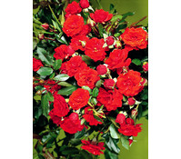 Zwergrose 'Orange Babyflor®'