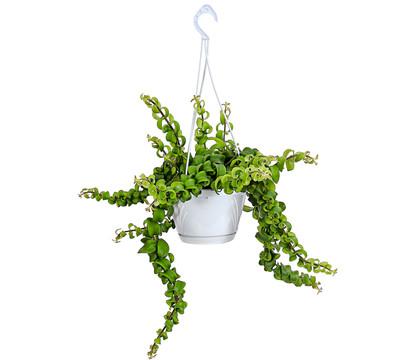 Aeschyanthus - Schamblume 'Scubidoo', Ampel