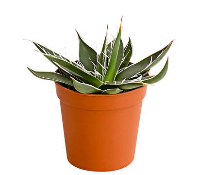Aloe, Sortenmix