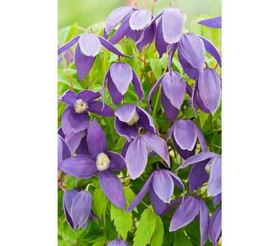 alpen waldrebe clematis violett dehner garten center. Black Bedroom Furniture Sets. Home Design Ideas