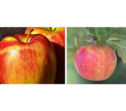 Apfel-Duo 'Goldparmäne'/'Alkmene'