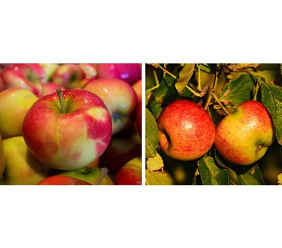 Apfel-Duo 'Jonagold/Boskoop'