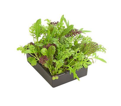 asialeaf salat 20er schale dehner garten center. Black Bedroom Furniture Sets. Home Design Ideas
