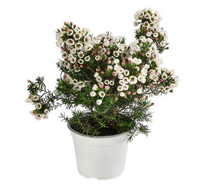 Australische Wachsblume