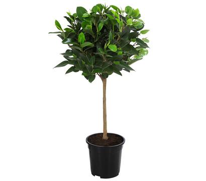 Australischer Feigenbaum 'Australis'