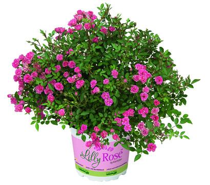 Balkonrose 'Lilly Rose™'