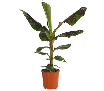 Banane 'Dwarf Cavendish'