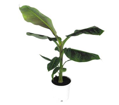 bananenpflanze dehner garten center. Black Bedroom Furniture Sets. Home Design Ideas
