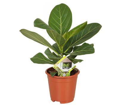 Banyanbaum - Ficus 'Audrey'