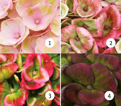 Bauern-Hortensie 'Magical® Four Seasons Revolution'