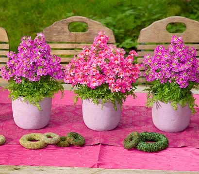 Bauernorchidee dehner garten center for Halbschattige balkonpflanzen