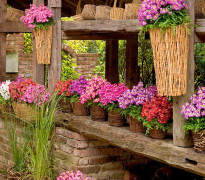 halbschattige balkonpflanzen bauernorchidee dehner garten center