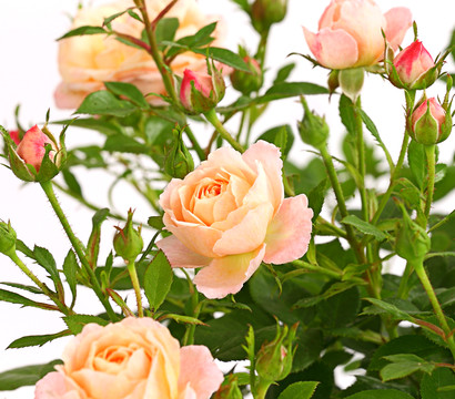 Beetrose 'Flower Rain®'