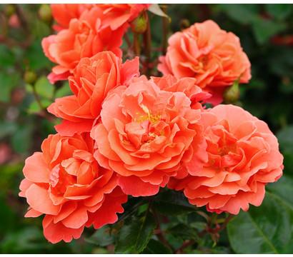 Beetrose 'Theodor Fontane Rose'®