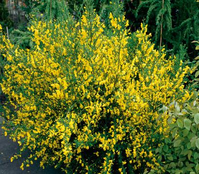 Startseite pflanzen pflege ziergehölze laubgehölze besenginster