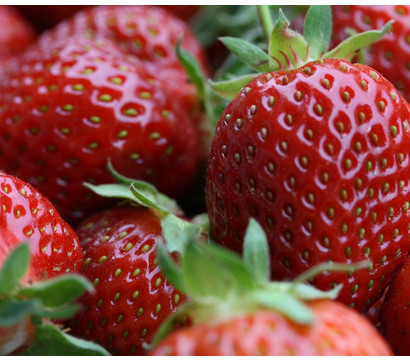 Bio Erdbeere, immertragend