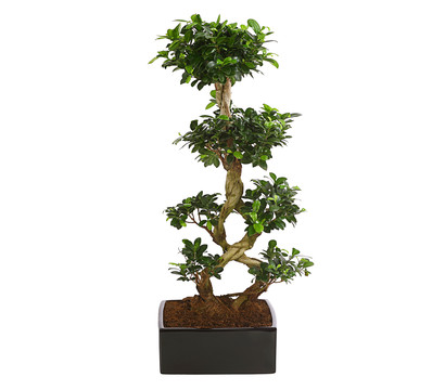Birkenfeige 'Ginseng', 8-Form