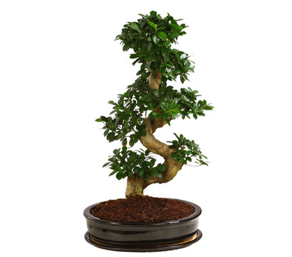birkenfeige 39 ginseng 39 bonsai in keramik dehner. Black Bedroom Furniture Sets. Home Design Ideas