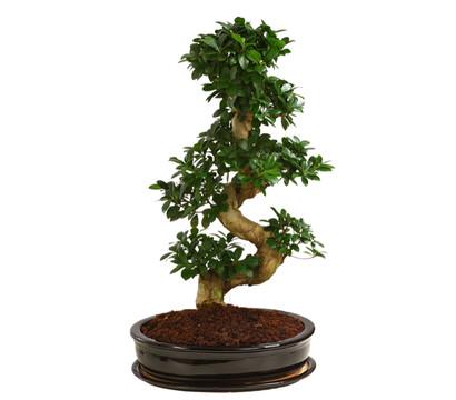 birkenfeige 39 ginseng 39 bonsai in keramik dehner garten center. Black Bedroom Furniture Sets. Home Design Ideas