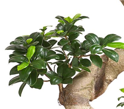 birkenfeige 39 ginseng 39 bonsai dehner garten center. Black Bedroom Furniture Sets. Home Design Ideas