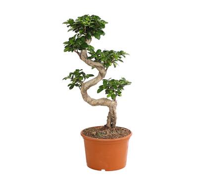 birkenfeige 39 ginseng 39 bonsai dehner. Black Bedroom Furniture Sets. Home Design Ideas