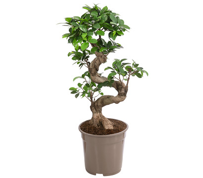 Birkenfeige 'Ginseng'