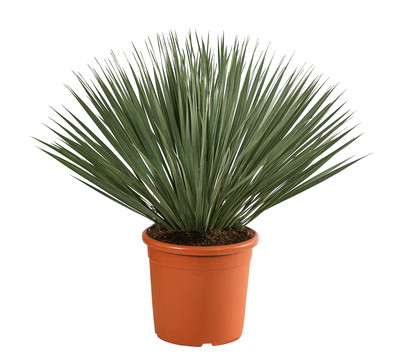 Blaublättrige Palmlilie