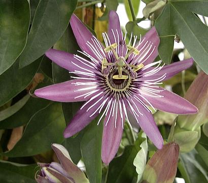 Blaue Passionsblume : Dehner Garten Center Schone Passionsblume Pflege Tipps Zimmerpflanzen