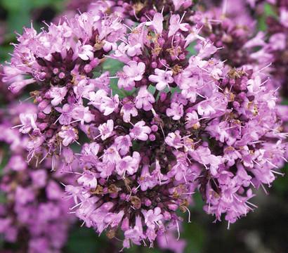 Blumen-Dost - Heidegünsel 'Rosenkuppel'