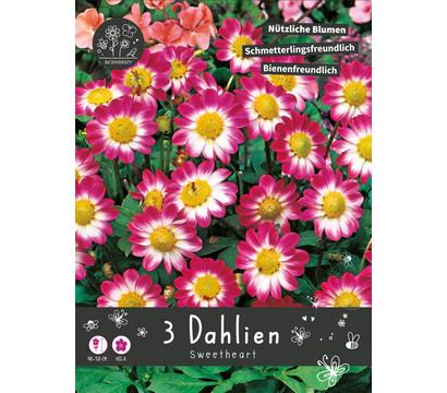 Blumenzwiebel 'Dahlie Sweetheart'