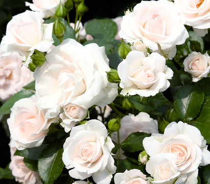 Bodendecker Rose 'Aspirin'®