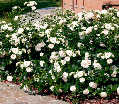 bodendecker rose 39 aspirin 39 dehner garten center. Black Bedroom Furniture Sets. Home Design Ideas