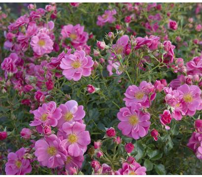 Bodendeckerrose Bienenweide® Rosa