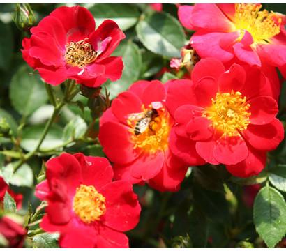 Bodendeckerrose Bienenweide® Rot