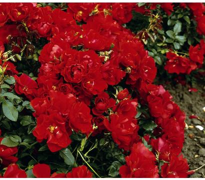 Bodendeckerrose 'Centro®-Rose'