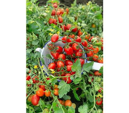 Bodendecker-Tomate, 6er Schale